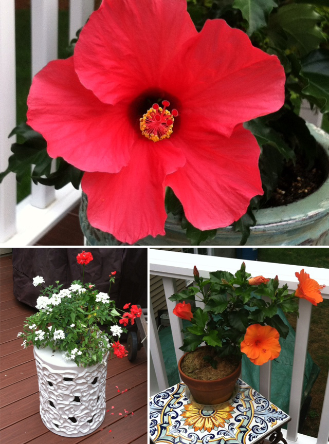Spring Plantings with Hibiscus